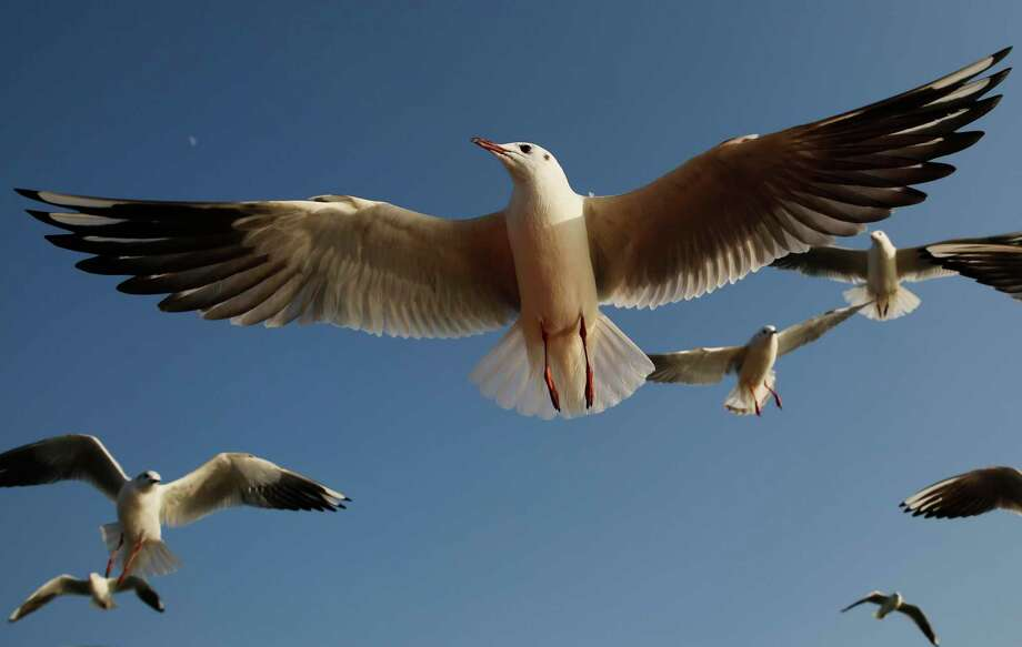 Siberian gulls fly at Sangam, the confluence the Ganges and the mythical Saraswati in Prayagraj, India, Monday, Feb. 3, 2020. The gulls fly thousands of miles to India to escape the Siberian winter. (AP Photo/Rajesh Kumar Singh) Photo: Rajesh Kumar Singh / Associated Press / Copyright 2020 The Associated Press. All rights reserved.