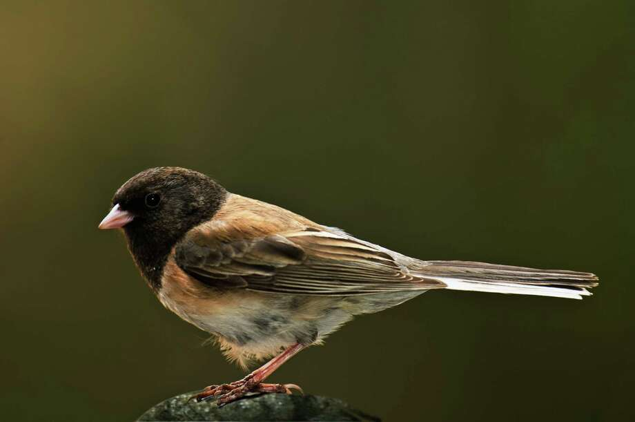 FILE PHOTO — A bird, called a Junco is recuperating after being found in a driveway on Feb. 14, 2020. Photo: Ron Sanford / Getty Images /Science Source / This content is subject to copyright.