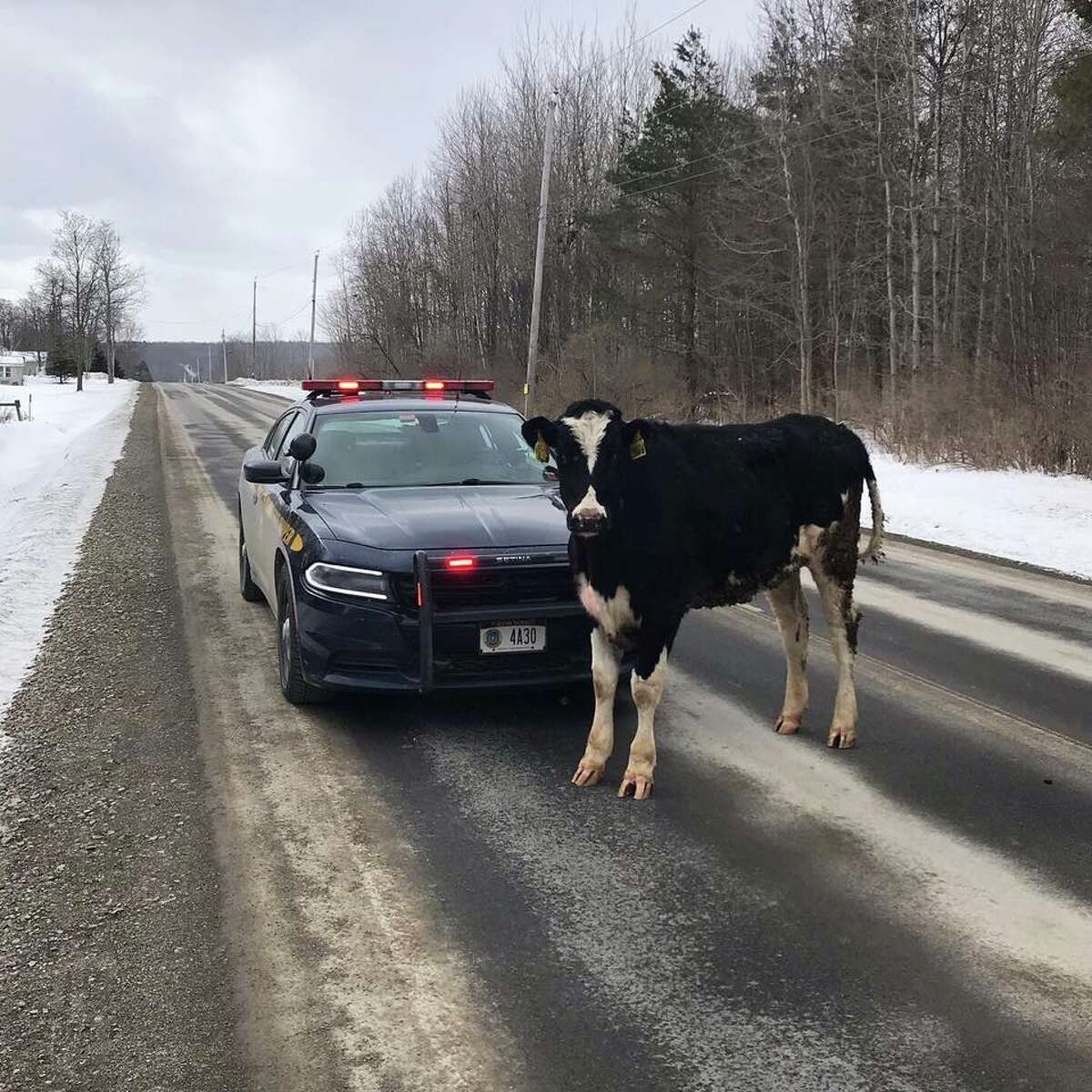 This cow refused to