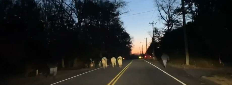 Connecticut State Police responded to a call of cows in the road in North Stonington on Feb. 21, 2020. Photo: Connecticut State Police / Contributed