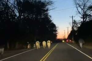 Connecticut State Police responded to a call of cows in the road in North Stonington on Feb. 21, 2020.