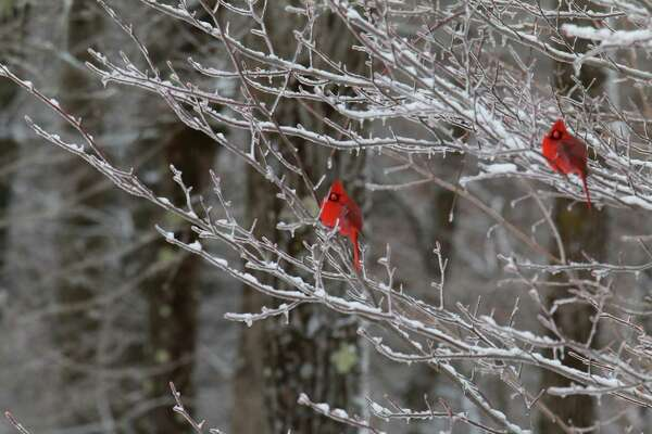 Gary Garavuso of Mechanicville saw these two cardinals on trees in his backyard on Feb. 8