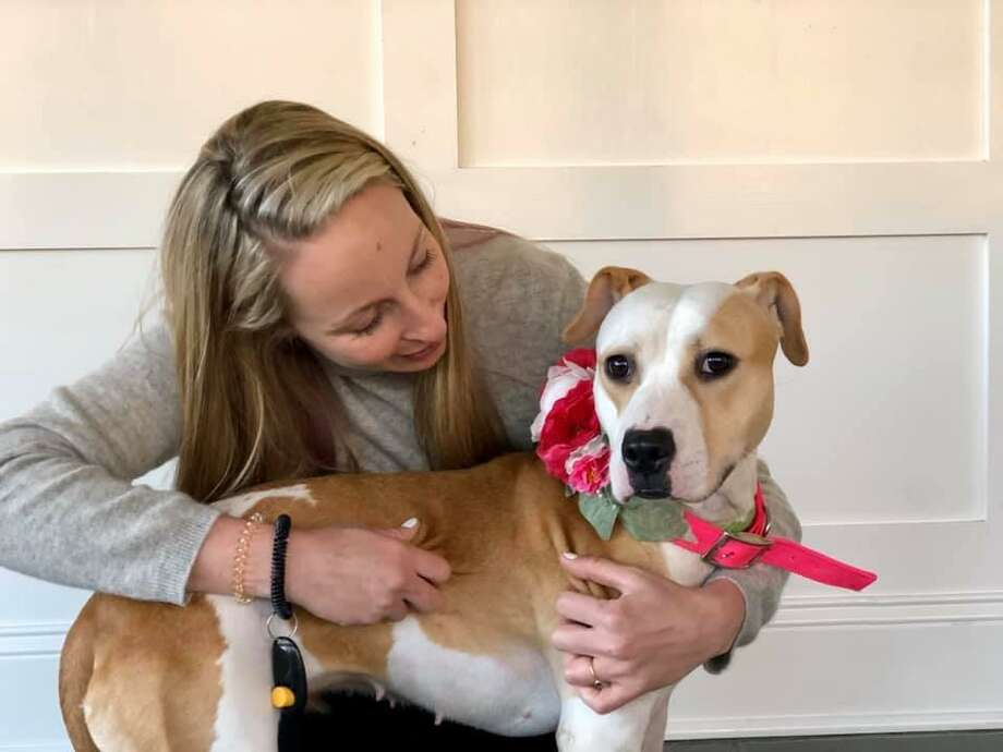 Udon, who was rescued from a dog fighting ring in the Bronx and held as evidence in the case against her former owners, is being fostered in Fairfield by Anya Kopchinsky, founder of Pitstop NY. Udon is now up for adoption. Photo: Anya Kopchinsky