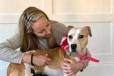 Udon, who was rescued from a dog fighting ring in the Bronx and held as evidence in the case against her former owners, is being fostered in Fairfield byAnya Kopchinsky, founder of Pitstop NY. Udon is now up for adoption.