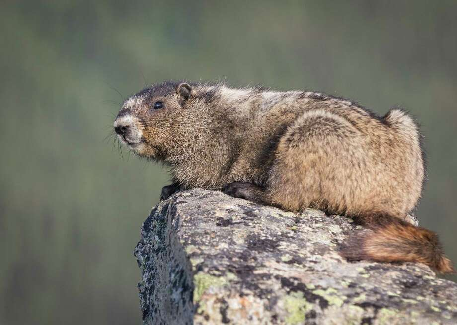 Marmots are often hosts for bubonic plague, which is then spread by infected fleas. Photo: Virginie Merckaert // Shutterstock