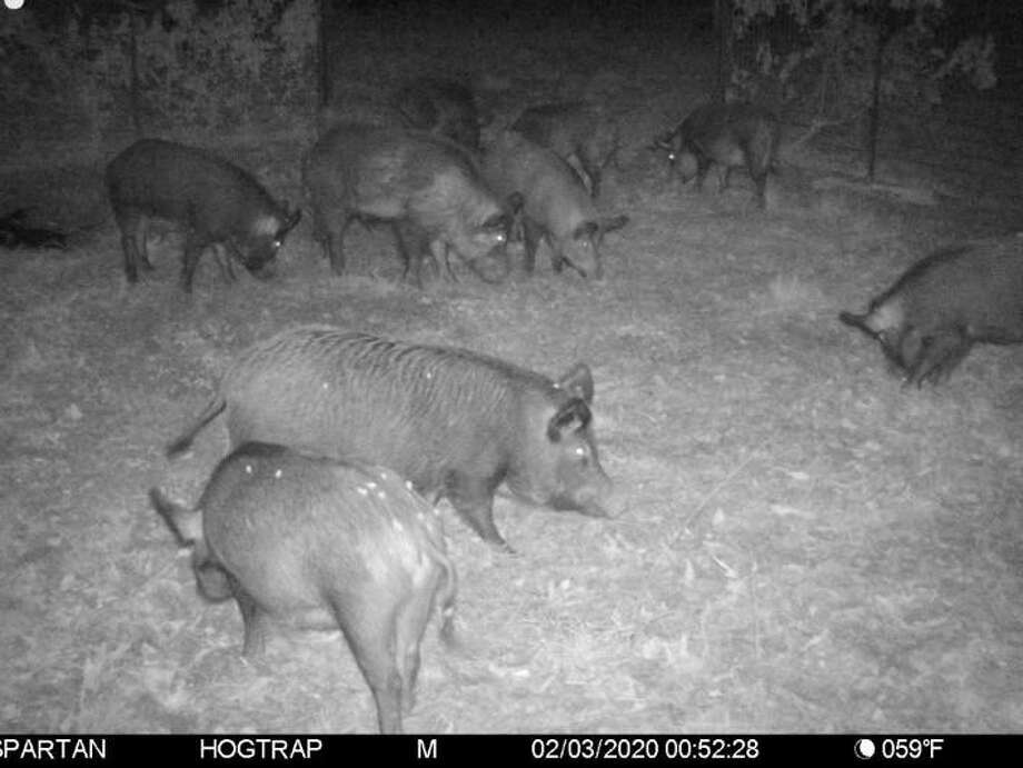 This game camera image, provided by Montgomery County Precinct 3 Commissioner James Noack, shows a group of feral hogs in a trap along Spring Creek dated Feb. 3, 2020. A three-month feral hig trapping pilot program in South Montgomery County continues to see success, with a total of 43 feral hogs reported trapped since mid-January, including two dozen pregnant sows, officials from Montgomery County Precinct 3 Commissioner James Noack's office confirmed on March 9. Photo: Courtesy Image/Montgomery County Precinct 3 Commissioner James Noack's Office / Courtesy Image/Montgomery County Precinct 3 Commissioner James Noack's Office