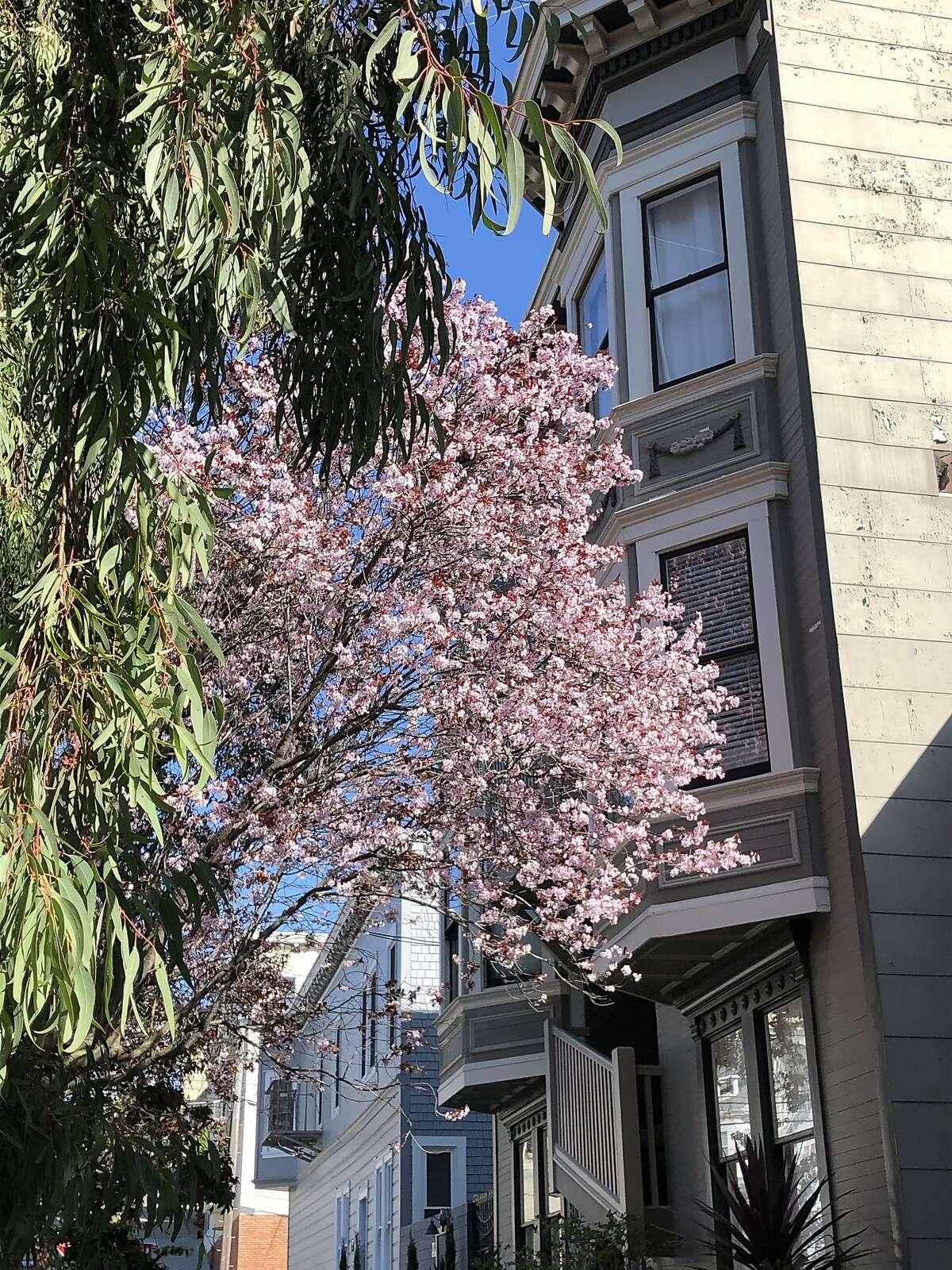 Street trees in flower along Noe Street.