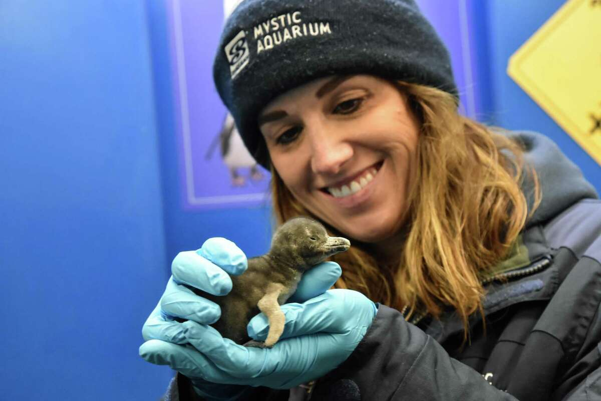 """The Mystic Aquarium introduced the newest member of its African penguin colony.The African penguin colony had grown """"by one"""" Feb 3, with the hatching of the chick, aquarium staff said in a release."""