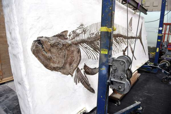 The fossilized fish set in plaster, xiphactinus, from the cretaceous period has been removed from its original location in the Great Hall at the Yale Peabody Museum of Natural History in New Haven and will undergo a cleaning before being relocated within the Great Hall.