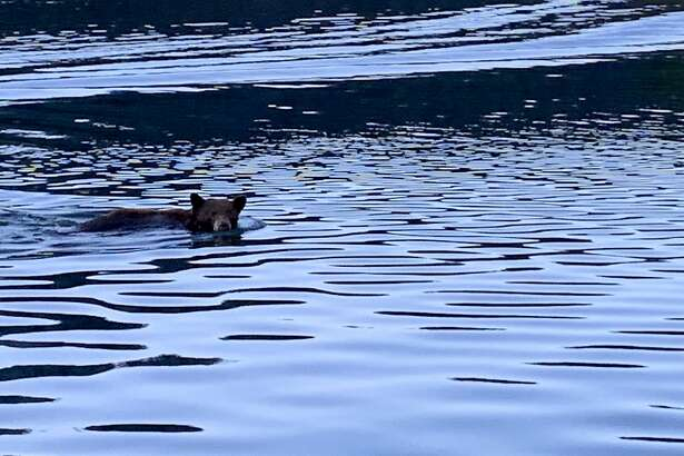 It felt like like spring to a surprise bear that swam right by the boat operated by SF Chronicle outdoors writer Tom Stienstra
