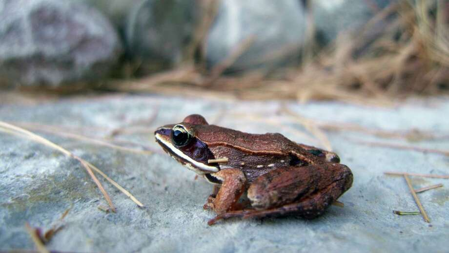 The wood frog, pictured, is just one of 13 frog and toad species one might find in Michigan. The Department of Natural Resources is welcoming volunteers to help with its annual spring frog and toad survey, an important data-collection effort that helps wildlife biologists better understand current populations and abundance in different parts of the state. (Courtesy photo) / Copyright 2010 State of Michigan
