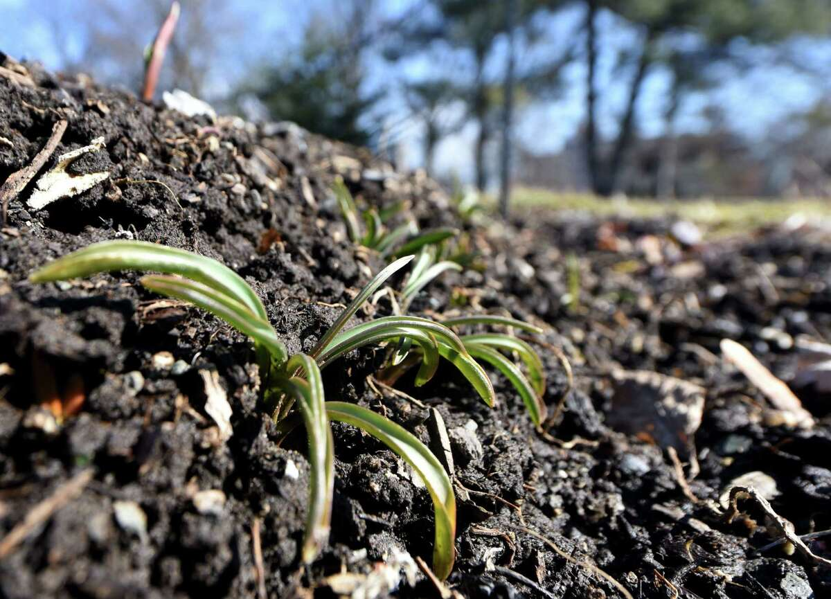 Plant life peeks from the cool damp flowerbeds at Washington Park as a spell of warm weather brightens the Capital Region in late February. (Will Waldron/Times Union)
