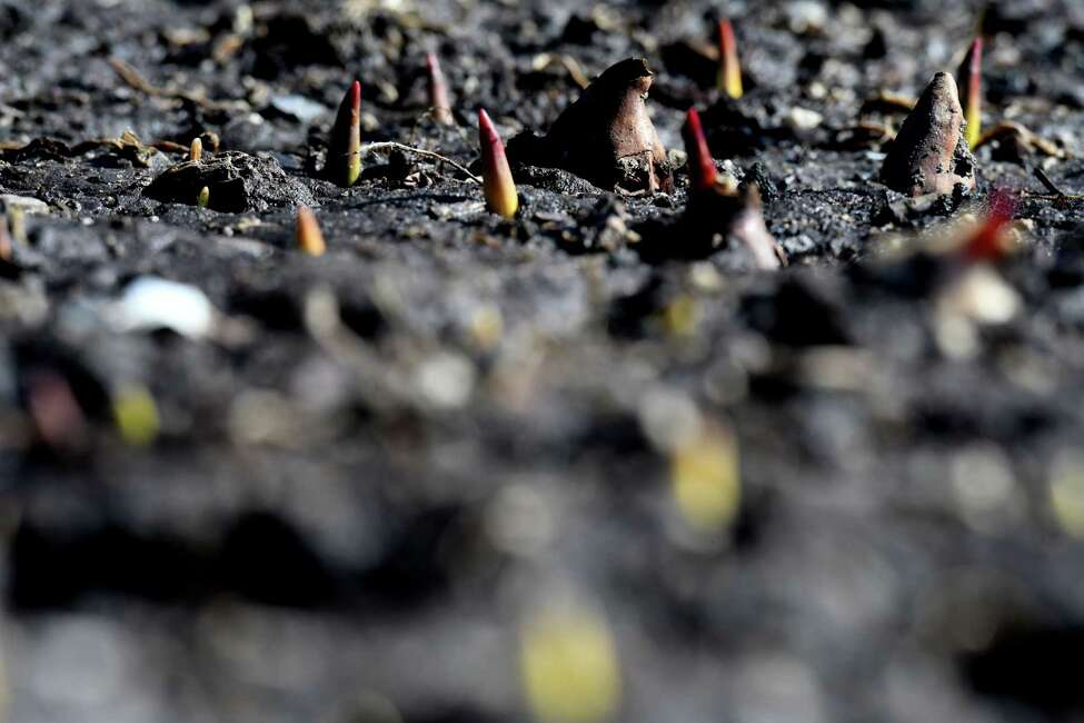 Plant life peeks from the cool damp flowerbeds at Washington Park as a spell of warm weather brightens the Capital Region on Monday, Feb. 24, 2020, in Albany, N.Y. (Will Waldron/Times Union)