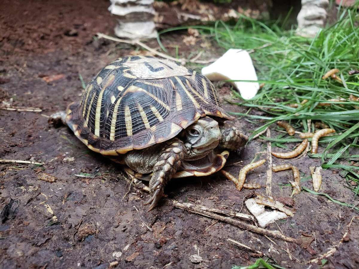 One if the of 30 ornate box turtles shipped from the Wildlife Center of Virginia to Central Texas Tortoise Rescue in San Marcos.