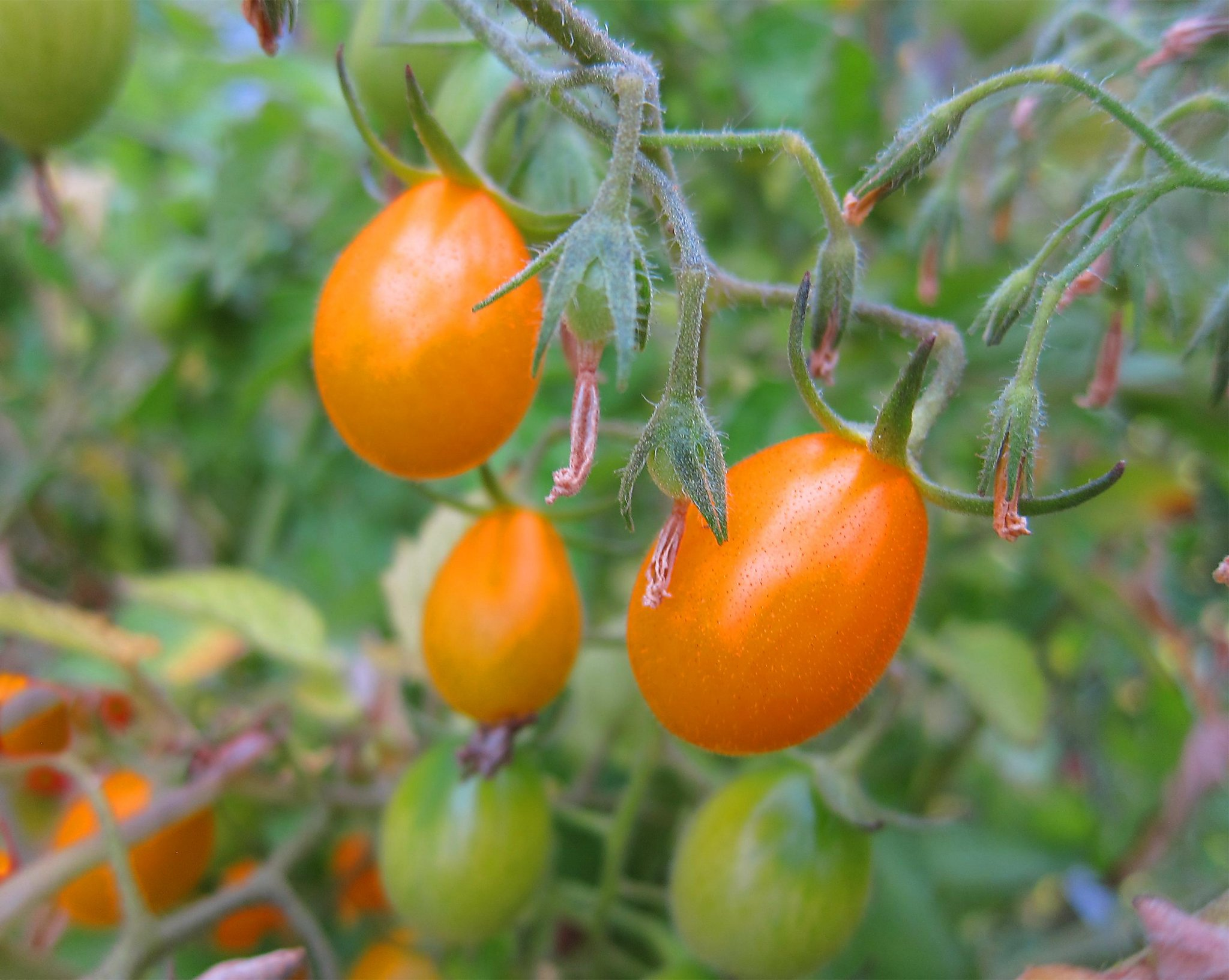 Many Options When Growing Tomatoes What You Need To Know Sfchronicle Com