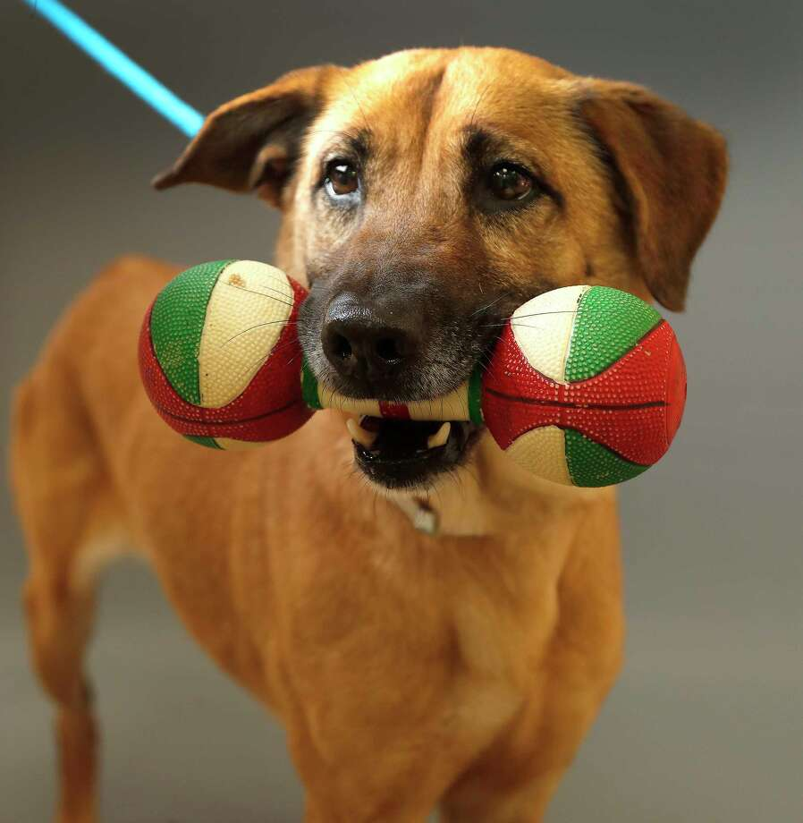 Moochie (43249795) is a 4-year-old, female, retriever mix available for adoption from the Houston Humane Society, in Houston,Tuesday, Feb. 25, 2020.  Moochie came into the shelter as an owner surrender after her owner passed away. When she was surrendered to the shelter, she came in with a special toy, given to her by her former owner, which rarely comes out of her mouth. She is a sweet dog who is heartworm positive, but her treatment is sponsored, and would be of no cost to anyone who adopts Moochie. Photo: Karen Warren, Staff Photographer / © 2020 Houston Chronicle