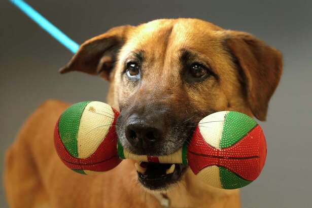 Moochie (43249795) is a 4-year-old, female, retriever mix available for adoption from the Houston Humane Society, in Houston,Tuesday, Feb. 25, 2020. Moochie came into the shelter as an owner surrender after her owner passed away. When she was surrendered to the shelter, she came in with a special toy, given to her by her former owner, which rarely comes out of her mouth. She is a sweet dog who is heartworm positive, but her treatment is sponsored, and would be of no cost to anyone who adopts Moochie.