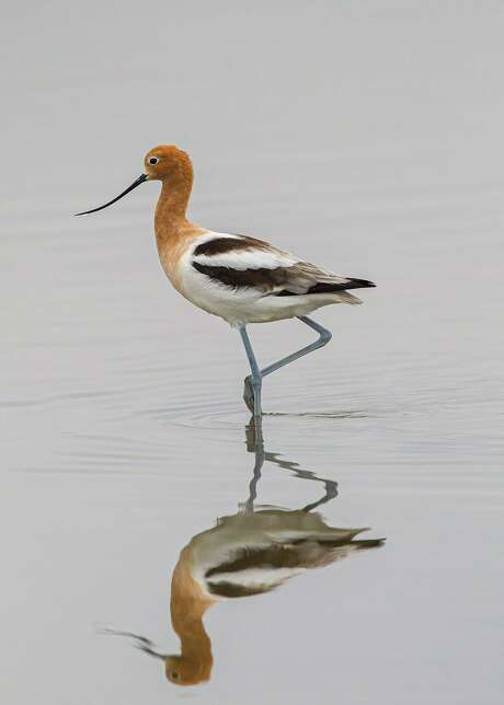 American avocets will acquire breeding plumage in March and April with exquisite auburn heads and necks.