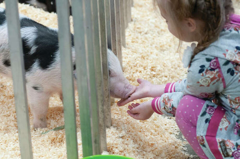 Gracie Tomhave, 3, gently feeds a spotted baby pig on Tuesday while visiting FFA Jacksonville's petting zoo at Jacksonville High School. Preschoolers from surrounding areas were bused in throughout the day. Gracie was accompanied by her 1 year-old sister, Caroline; and her mom, Lauren.