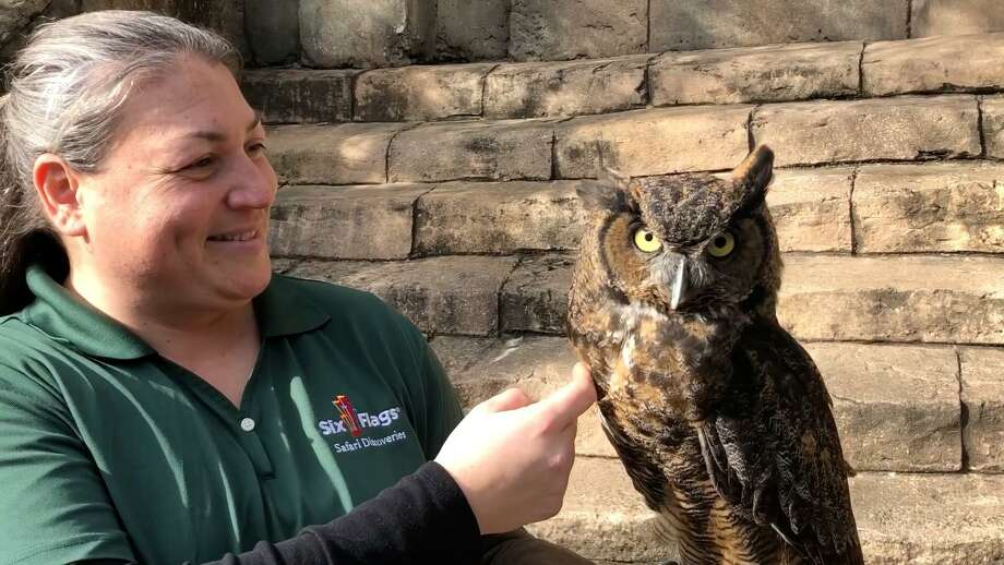 Six Flags Great Adventuresays they will introduce five new species to park guests in 2020: the swift and nimble cheetah, majestic great horned owl, stealth American kestrel, social Patagonian cavy and mischievous ferret. Photo: Six Flags Great Adventure