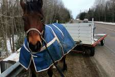 A horse named Rusty that had escaped from a country store was corralled by a Michigan State Police trooper near Marion Tuesday afternoon. (Courtesy photo)