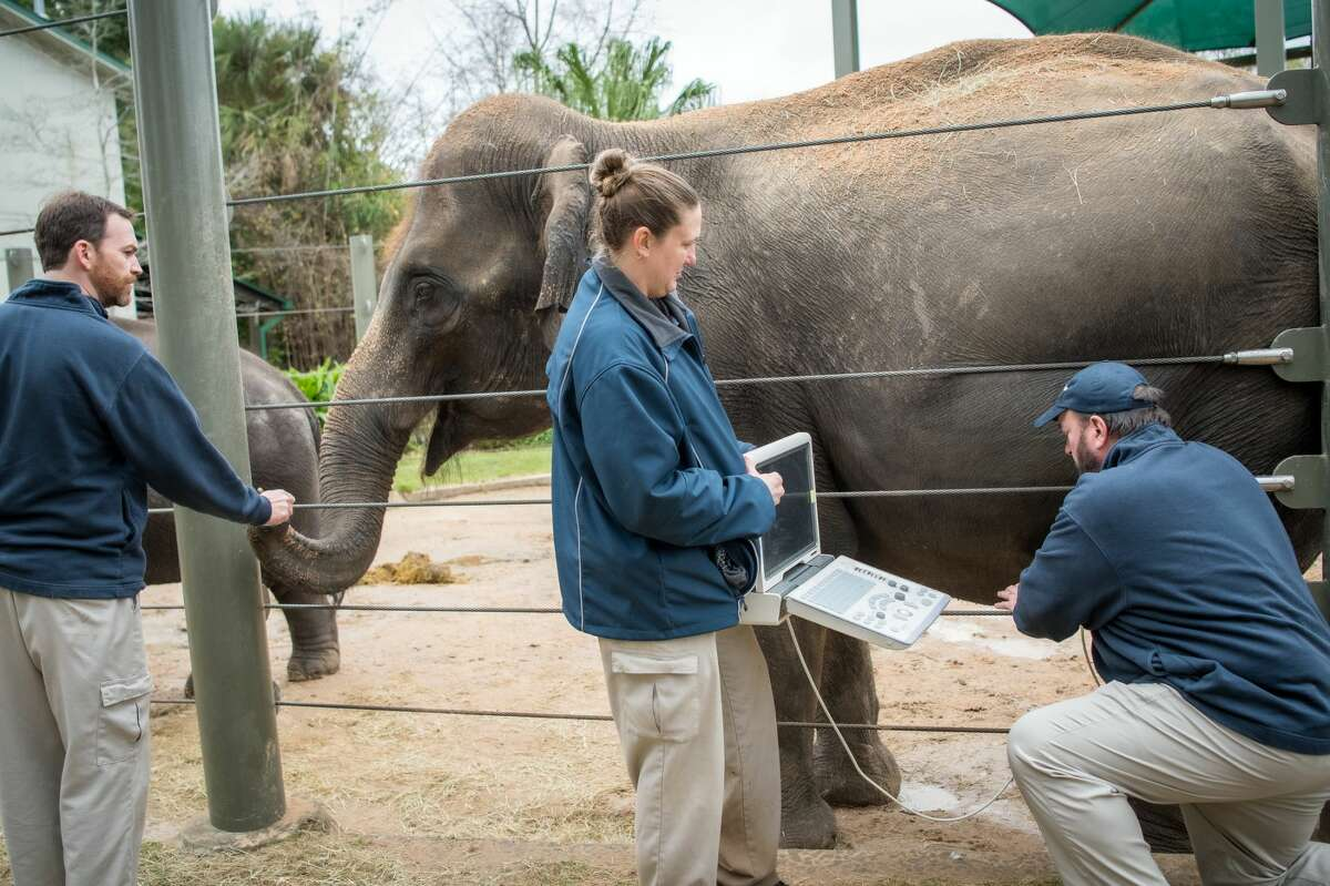 After two years of pregnancy, 29-year-old Asian elephant Shanti will give birth at the McNair Asian Elephant Habitat cow barn sometime this spring.