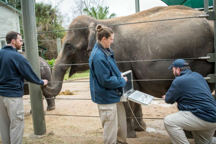 After two years of pregnancy, 29-year-old Asian elephant Shanti will give birth at the McNair Asian Elephant Habitat cow barn sometime this spring. Photo: Courtesy Houston Zoo