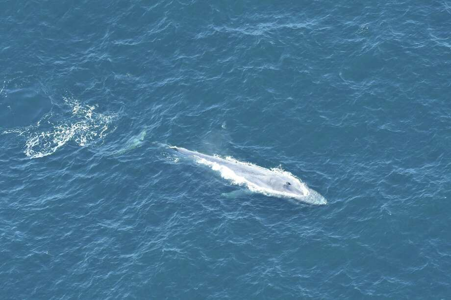 One of the whales spotted Februrary, 2020 in the deep Atlantic ocean east of Connecticut. Photo: New England Aquarium