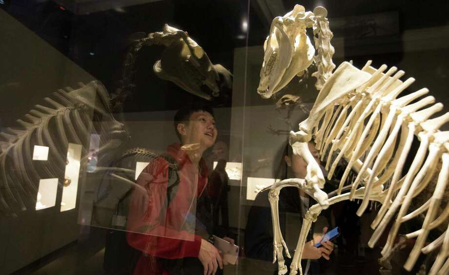 Houston Museum of Natural Science president Joel A. Bartsch says that once the coronavirus shutdown is over that visitors such as Benson Lu, seen in January, won't be in a rush to return. Photo: Yi-Chin Lee, Houston Chronicle / Staff Photographer / © 2020 Houston Chronicle