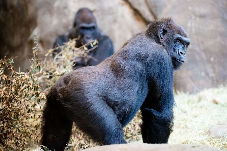 The birth watch has started for gorilla Uzumma at Woodland Park Zoo. The first-time expectant mom is due between March 8 and March 20. Kwame, the father-to-be, is pictured in the background. Photo: Jeremy Dwyer-Lindgren/Woodland Park Zoo