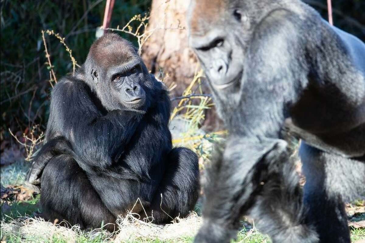 The birth watch has started for gorilla Uzumma (left) at Woodland Park Zoo. The first-time expectant mom is due between March 8 and March 20. Kwame, the father-to-be, is pictured on the right.