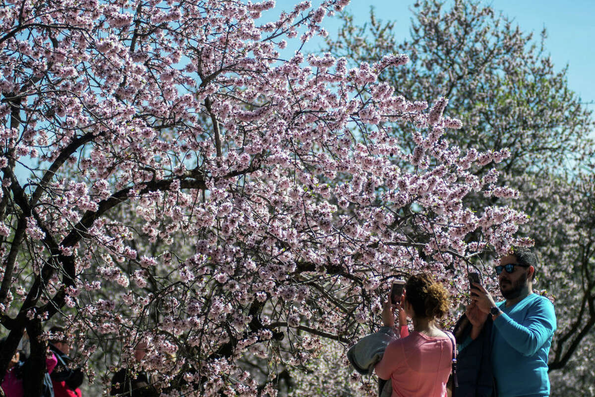 File photo of people taking pictures of flowering almond trees.
