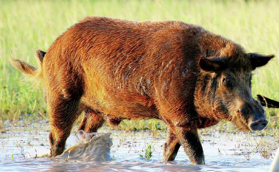 Feral hogs are increasing in population, not only in Texas but as an overall population. Mike Bodenchuk, state director for the Texas Wildlife Services Program, said research projects from southeast Texas shows that there are about 6 to 10 feral pigs per square mile. Photo: Shannon Tompkins / Houston Chronicle