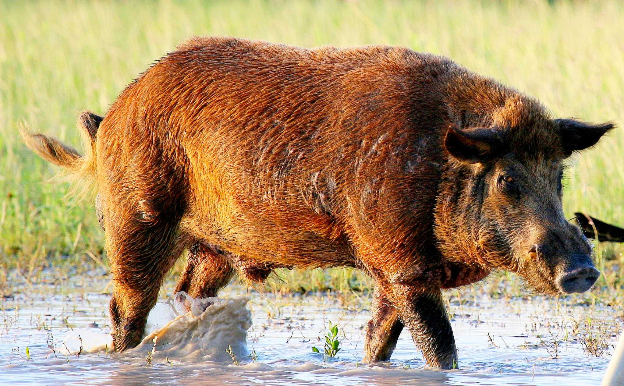 As population grows, feral hogs start to make traction in Lake Houston area