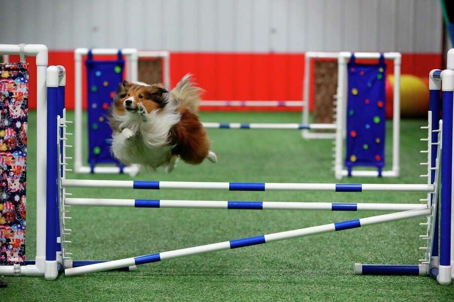Will, an 8-year-old Sheltie, runs an agility course at TNT Dog Center in Midland. (Photo provided/Rick Fleming Photography)
