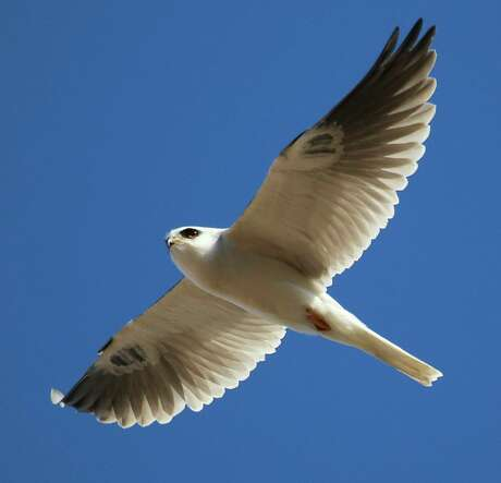 Raptors, such as this white-tailed kite, have populated the East Bay hills near Sunol at high numbers to feed on mice, voles, rabbits and squirrels, and are at peak abundance in winter across the foothills of the Bay Area.