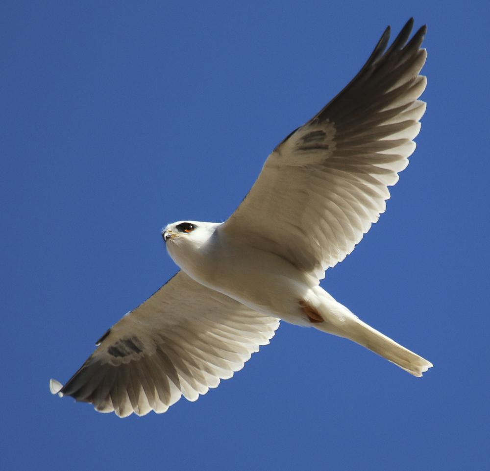 'White-tailed kite' a spectacle in the sky