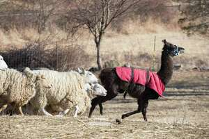 Hercules the Llama of Henny Penny Farm leads sheep at the McKeon Farm property on Saturday. The sheep currently live on 10 acres of the town's Conservation land at the north end of town, what is McKeon's Arigideen Farm.