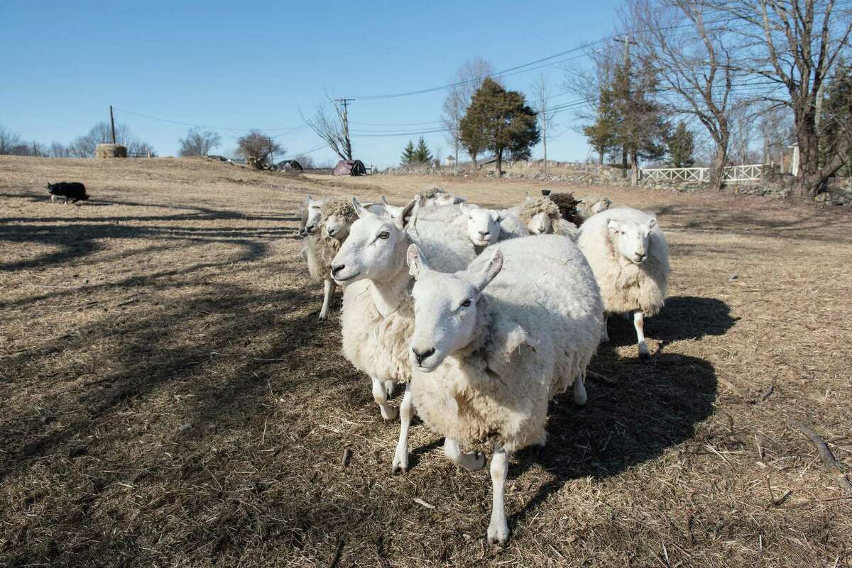 Sheep of Henny Penny Farm run at the McKeon Farm property on Saturday, Feb. 22, 2020 in Ridgefield, Conn.