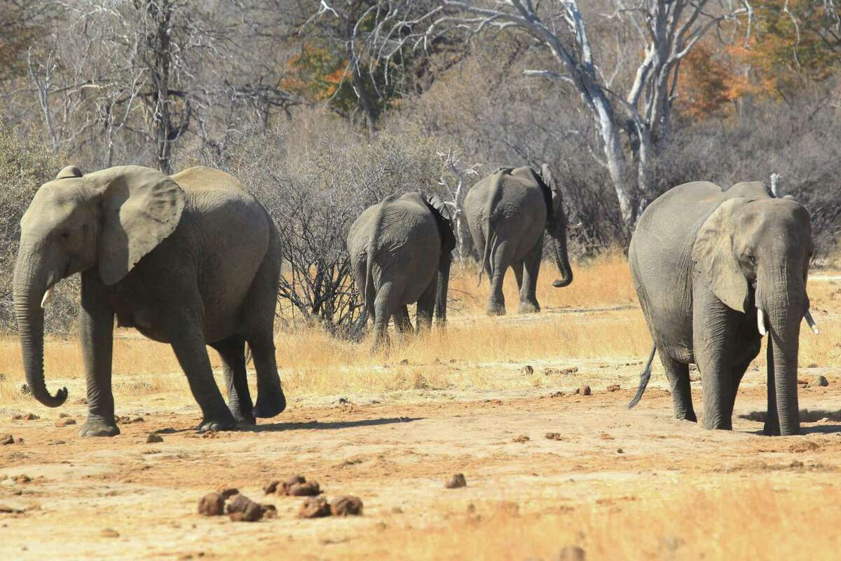 Elephants roam freely near the railway track that Cecil the lion crossed when he was lured onto a farm in an illegal hunt in Zimbabwe, Aug. 6, 2015. The killing of Cecil by an American hunter triggered outrage far beyond Zimbabwe's borders.