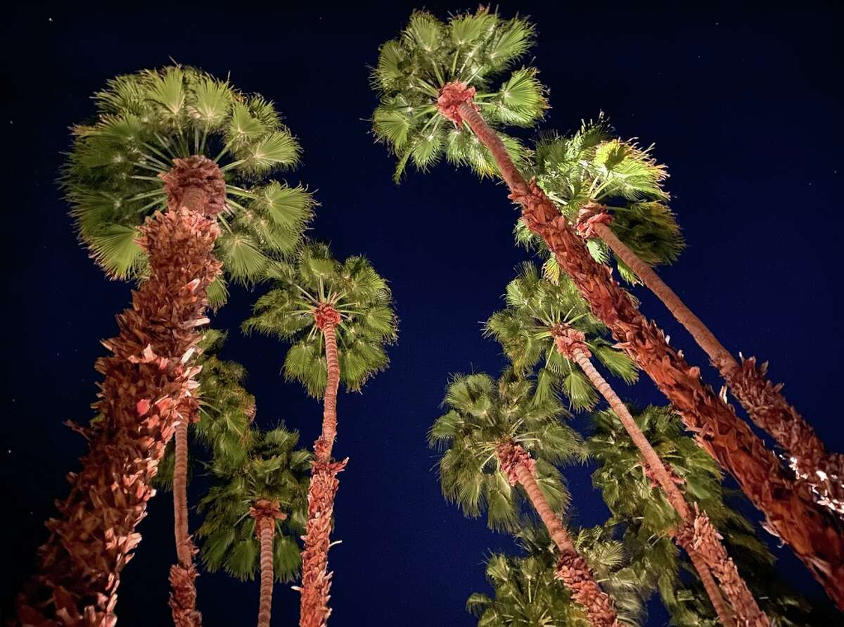 Looking up at palm trees and starry skies at dusk at the La Quinta Resort in La Quinta, Calif. - yes, the town is named after the hotel, just like Beverly Hills is named after the Beverly Hills Hotel.