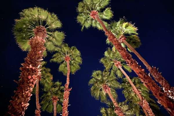 Looking up at palm trees at the La Quinta Resort in La Quinta, California- yes, the town is named after the hotel-- just like Beverly Hills is named after the Beverly Hills hotel