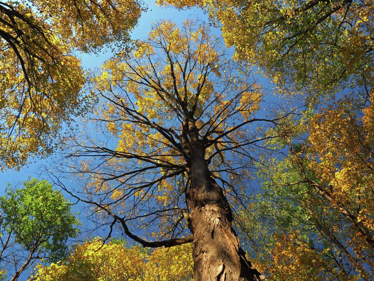 """Tree stories: The Times Union asked for pictures and stories about your favorite trees and you shared them. John Broadhead of Halfmoon shared this photo of an oak tree in Usher's Road State Forest in Clifton Park that caught his eye. """"The fall colors there can be spectacular in the tall trees, with the sun light just so,"""" Broadhead said."""