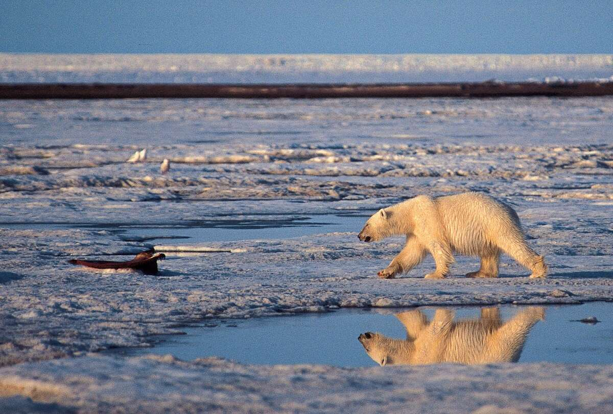 A polar bear in the Arctic National Wildlife Refuge. Overall, Earth's climate has warmed by about a degree Fahrenheit since 1900. In the Arctic, where a number of processes amplify the warming effects of carbon dioxide, temperatures have risen four to seven degrees in the last 50 years. Polar bears could become extinct by the end of the century if Arctic sea ice continues to melt as a result of global warming, scientists warn.