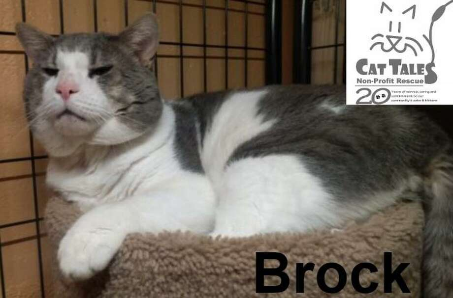 """Brock is a four-year-old shorthaired male, about four years old. He says, """"I'm a very friendly cat found in a feral colony. Since I lived on the streets for so long, it's best I have a home to myself or possibly another non-dominant cat. I'm also FIV+ and with the right care I can live as long as any other cat. Cat Tales helped me get the eye surgery I needed too and I'm healing well. I'm super-snuggly and playful and can't wait to go to my own home! Come visit me and find out what a wonderful companion I'd be for you."""" Visit http://www.CatTalesCT.org/cats/Brock, call 860-344-9043, or email: info@CatTalesCT.org Watch our TV commercial: https://youtu.be/Y1MECIS4mIc Photo: Contributed Photo"""