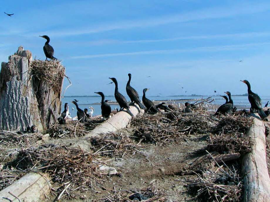 There are an estimated 230,000 double-crested cormorants around the Great Lakes which consume more than 77 million pounds of fish annually. (US Fish and Wildlife Service/Courtesy Photo)