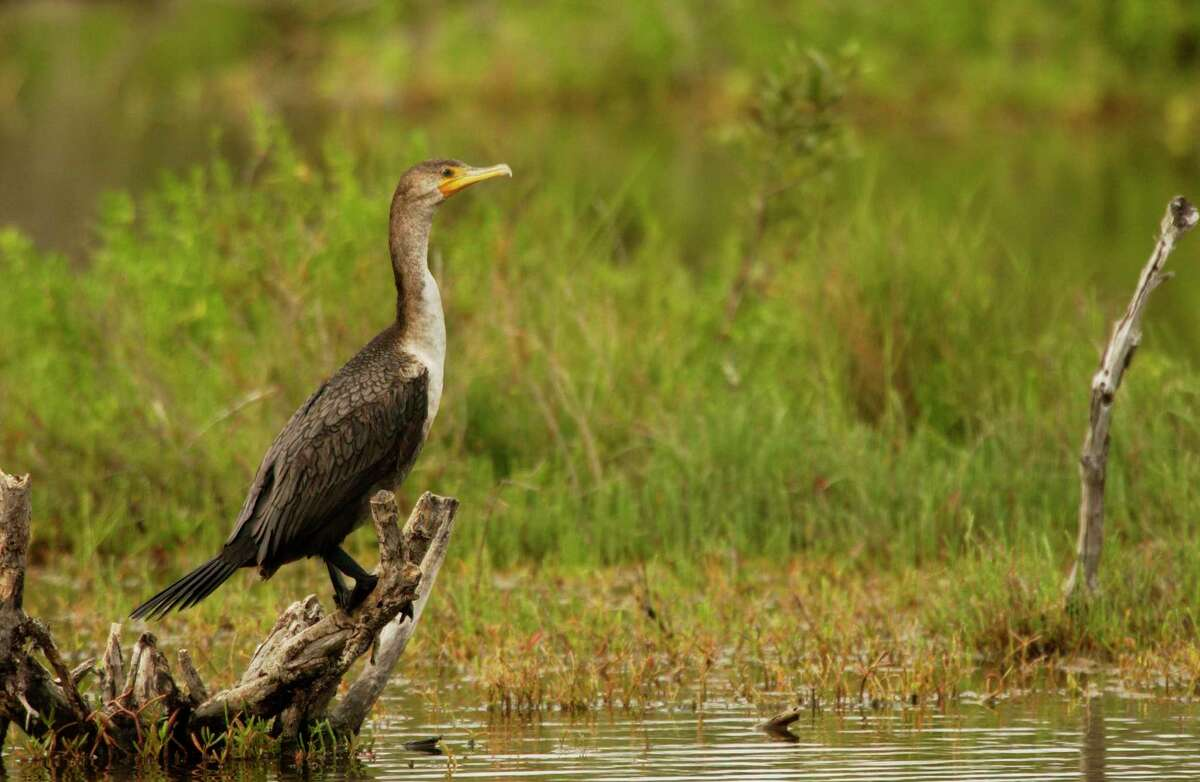 There are an estimated 230,000 double-crested cormorants around the Great Lakeswhich consume more than77 million pounds of fishannually. (US Fish and Wildlife Service/Courtesy Photo)
