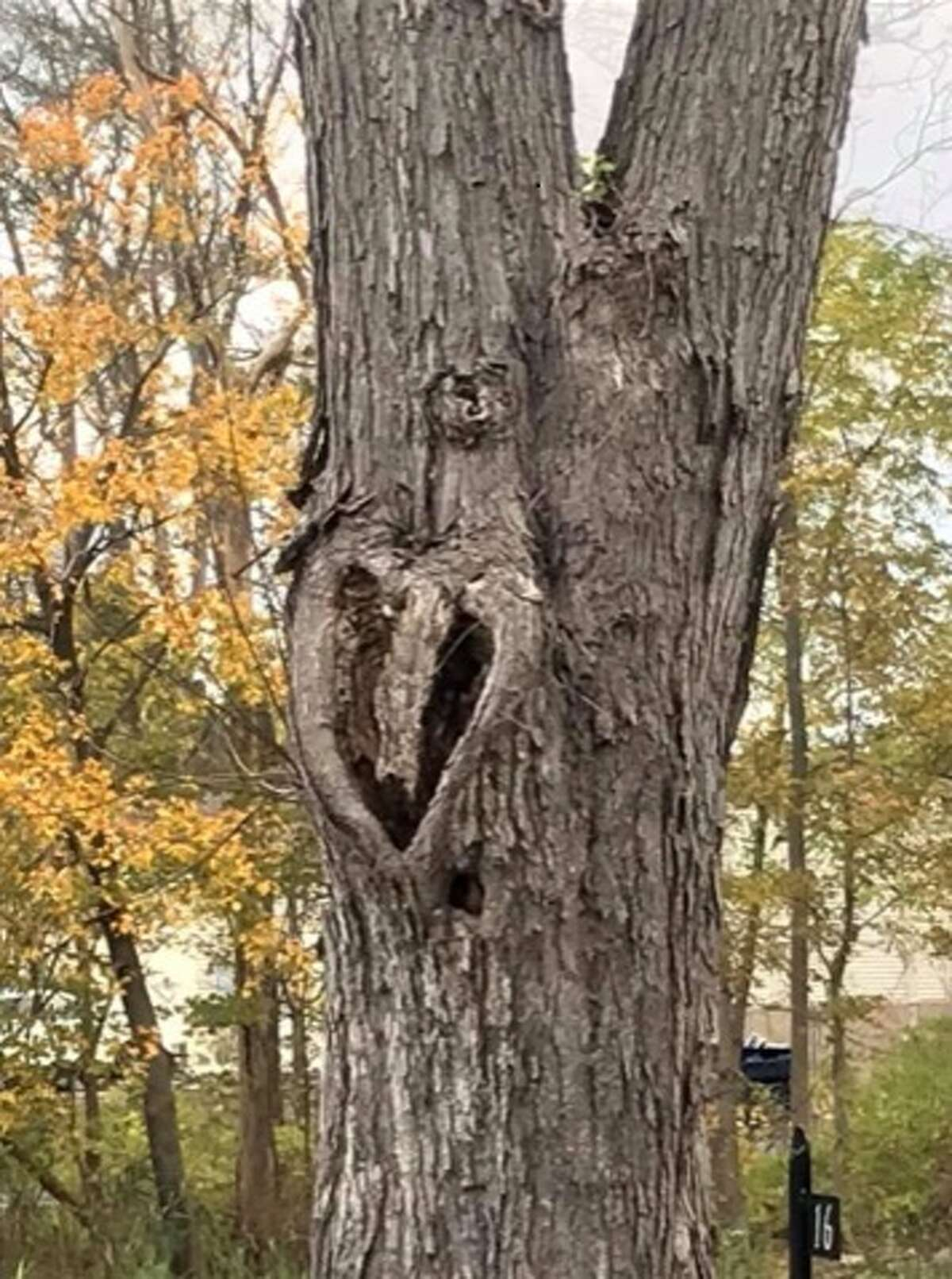 """Emily Biers of Delmar shared this photo of a tree on Elm Avenue in Delmar that captured her heart. """"Another reason I love nature!"""" Biers said."""