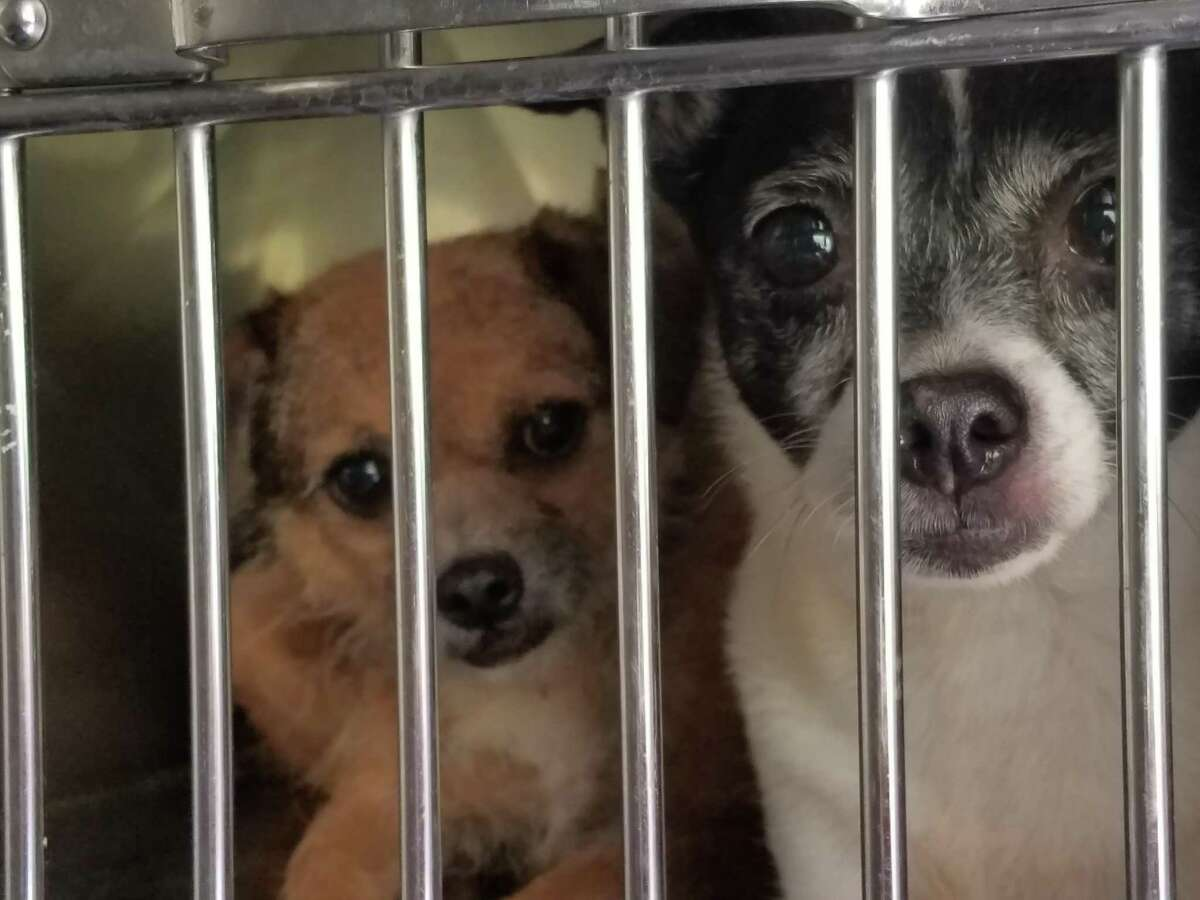 Fort Bend County Constable's Office Precinct 3 responded to a reported animal hoarding situation in the Katy area on Friday, Feb. 28, 2020. With the help of the Houston Humane Society Animal Cruelty Task Force, scores of dogs in various states of health were removed from the home.