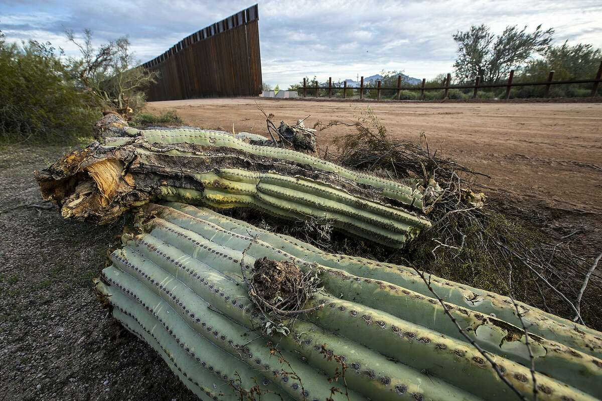 A saguaro cactus lays on the ground after being uprooted the day before by construction crews making way for new border wall, on Puerto Blanco Drive in Organ Pipe Cactus National Monument on February 20, 2020. (Brian van der Brug/Los Angeles Times/TNS)